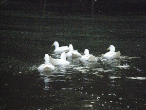 Ducks on the swim OMA.jpg