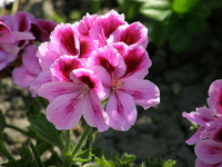 Mon flower.jpg