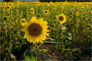 Thumbnail image for sun flowers.jpg