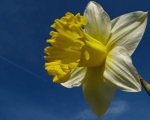 Lent lily.jpg