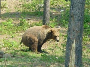 bear in woods.JPG