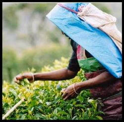 fairtrade tea.jpg