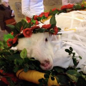 St Agnes lambs