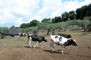 COWS SEEN ON PAPAL FARM AT CASTEL GANDOLFO
